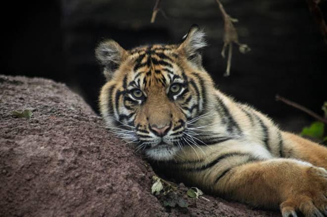 Sumatran Tiger Topeka Zoo Tiger Bite IPA